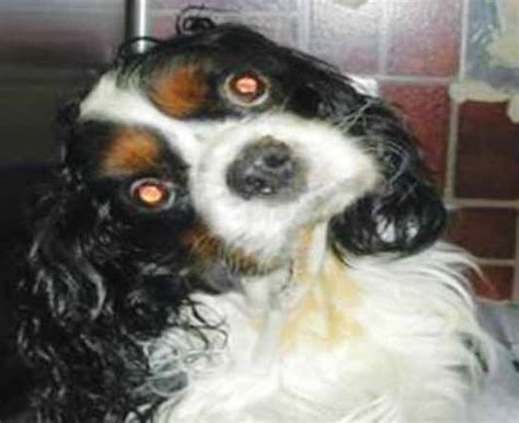 nystagmus in dogs vestibular disorders and the cavalier king charles spaniel