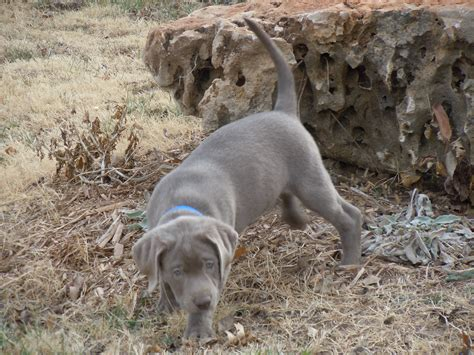 lab puppies for sale in charleston sc bird for sale in nc
