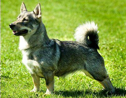 vallhund puppies find swedish vallhund puppies for sale