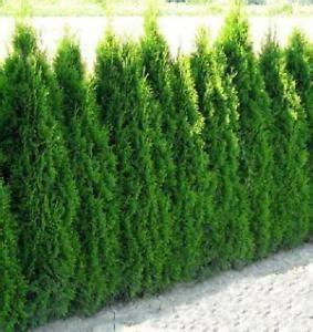 Kirschlorbeer Hecke Kaufen 157 by Heckenpflanzen Str 228 Ucher Ebay