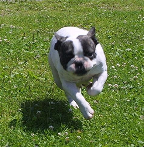 bulldog puppy care bulldog puppy care bulldogs puppies for sale breeder at funfrenchies