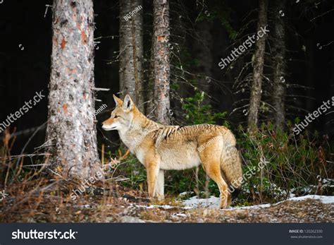 Email Lookup Canada Free Coyote In A Snow Covered Forest Kananaskis Country Alberta Canada Stock Photo