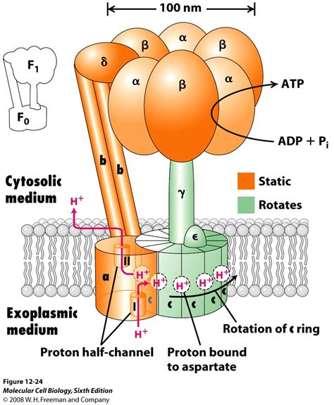 Mito A39 By Complete Selular adp is phosphorylated to form atp by chemiosmosis a