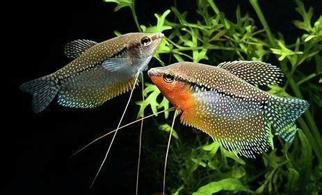 pearl gourami trichopodus leerii aquarium fish