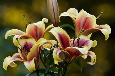 lilies or lillies lilies plant care and collection of varieties garden org