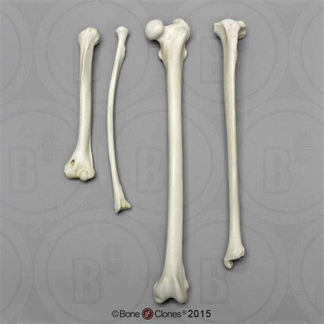 Indri Set indri intermembral set humerus radius femur and tibia
