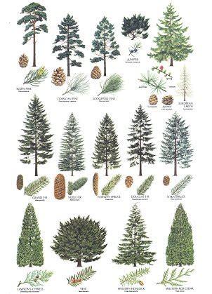 european trees and northern european trees