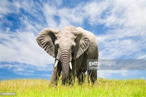 and stock photo getty images elephant stock photos and pictures getty images
