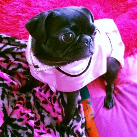 lola the pug lola the pug on quot i can t wait anymore i m all dolled up and ready for