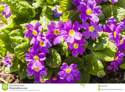 variety of flowers for garden variety of flowers of the genus primula pink