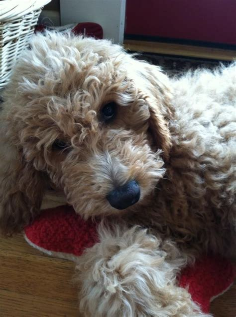 mini labradoodles carolina 862 best images about goldendoodle on