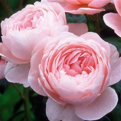 david austin roses frolic