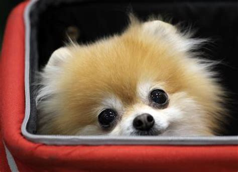 Pomeranian Shed A Lot by What Do You Do For A That Sheds Alot