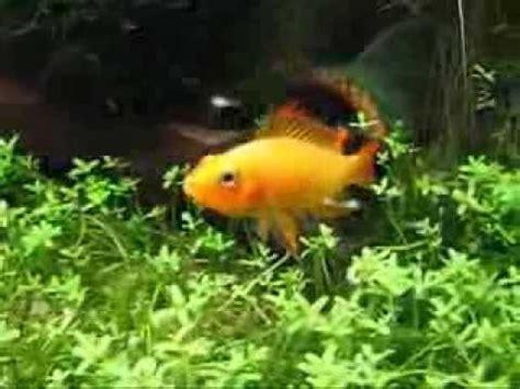 Ikan Apisto Agassizi Gold Apistogramma Agassizi Gold apistogramma borelli opal sticks n stones part vi funnycat tv