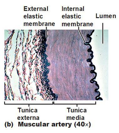 membrana elastica interna muscular artery tunica externa media elastic membrane