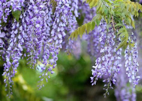 wisteria   plant grow  care  wisteria vines