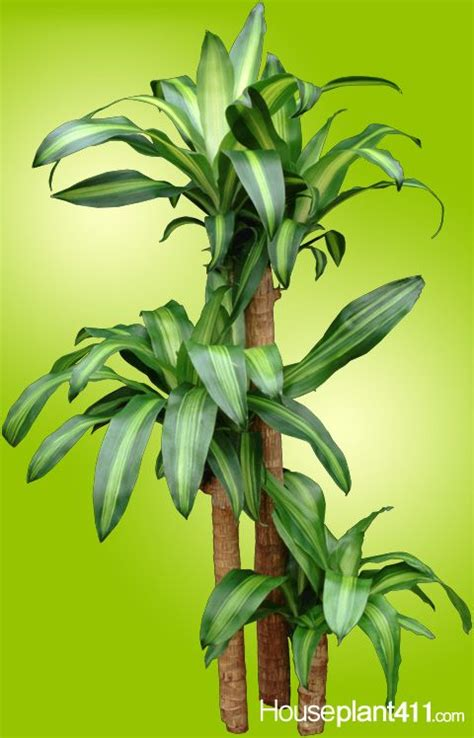 how much light does a lemon tree need why do dracaena houseplants get brown tips much