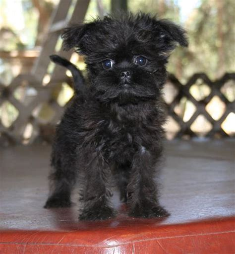 affenpinscher puppies for sale affenpinscher on ewok westminster and dogs
