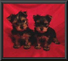 yorkies for sale in kansas best 25 yorkie breeders ideas on terrier breeders yorkie