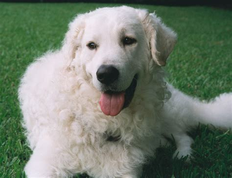 kuvasz puppy kuvasz photo and wallpaper beautiful kuvasz pictures