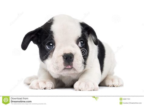 2 month puppy bulldog puppy 2 months stock image image 30817751