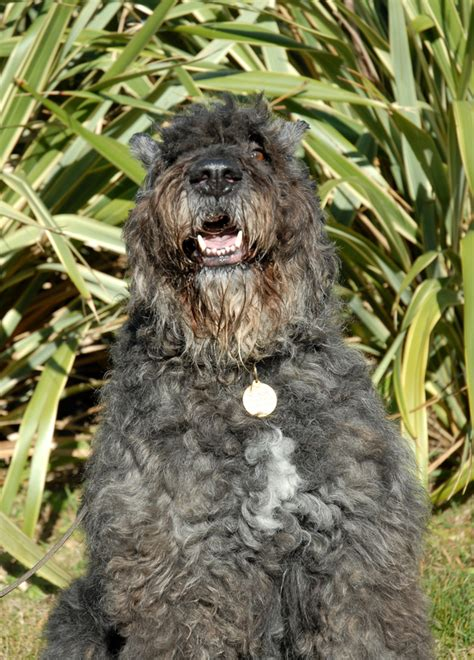 bouvier puppies for sale in michigan airedale terrier x bouvier des flandres puppies for sale in picture breeds picture