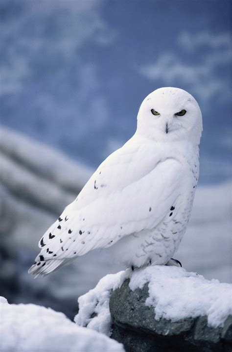 snowy owl owl and snow on pinterest