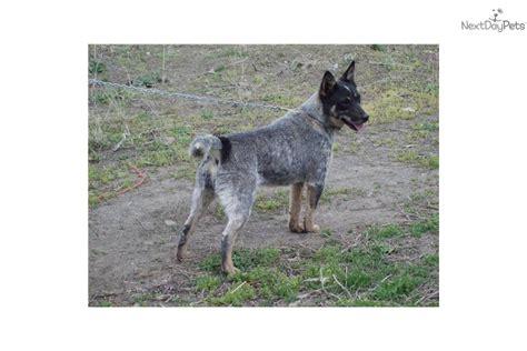 queensland heeler puppies for sale queensland heeler puppies for sale sacramento breeds picture