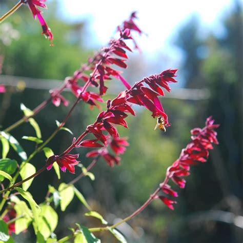 hummingbird plant hummingbird plant garden foreplay