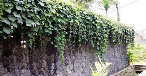 tanaman hias berbunga  pagar  dinding