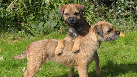border terrier puppies adrival border terriers