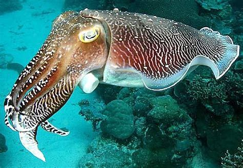 10 Facts about Cuttlefish | Fact File