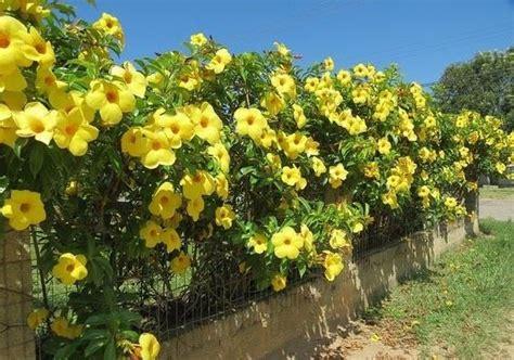 tanaman  cocok  mempercantik pagar rumah kamu
