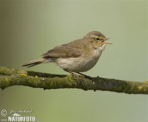 bulu2jembut common chiffchaff photos common chiffchaff images nature