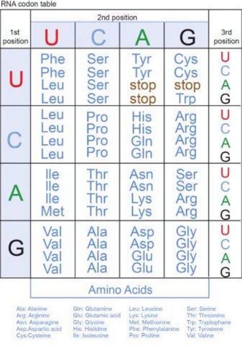 amino acid codon table genetic code and rna codon table