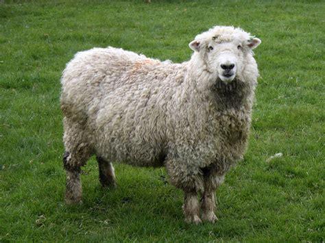 austrailian sheep sheep ecouterre