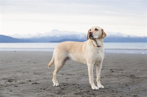 small breed golden retriever labrador retriever breed information pictures