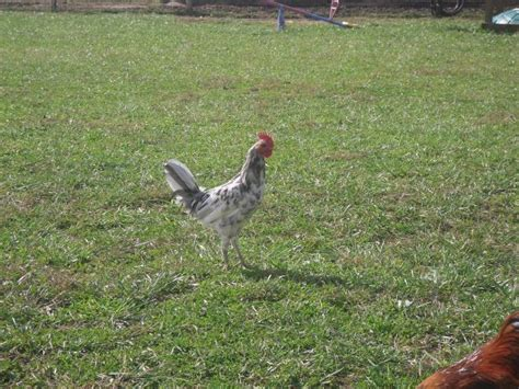 new pics of my delaware blue hen roosters backyard chickens