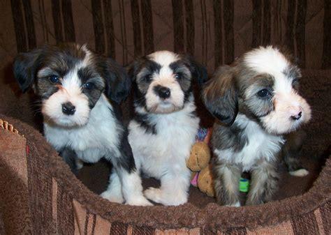 tibetan terrier puppies for adoption domani tibetan terriers adoption what to expect photo 2