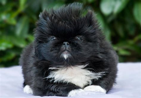 akc pekingese puppies for sale pekingese puppies for sale akc puppyfinder