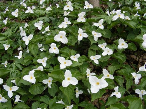 random plant white trillium the life of your time