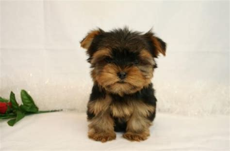 yorkies for adoption in arkansas yorkie puppies for free adoption breeds picture