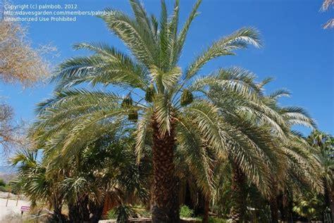 Palm Desert Botanical Gardens Plantfiles Pictures Date Palm Barhi Dactylifera By Palmbob
