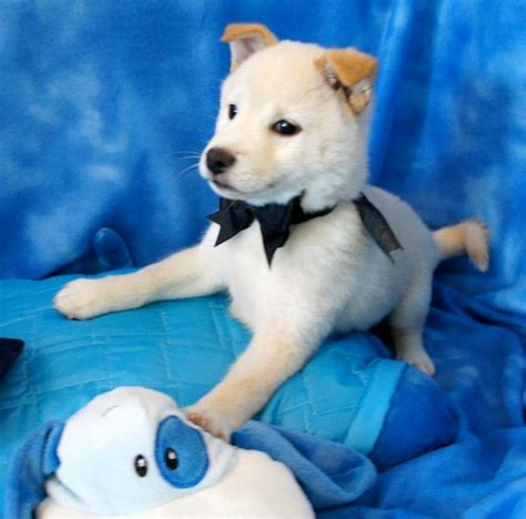 about puppies shiba inu puppy all about puppies