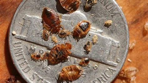 bed bugs pictures stages all about the bed bug life cycle