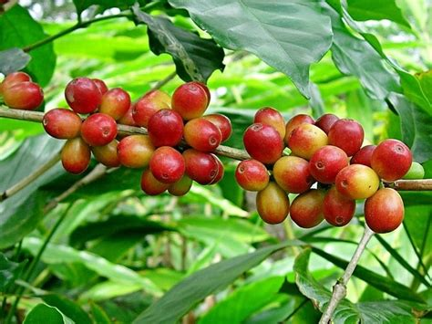 pianta di caffe in vaso pianta caff 232 piante da interno coltivare pianta