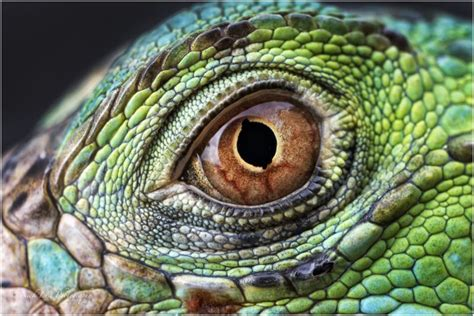 iguana macro eye eyes green iguana eyes color
