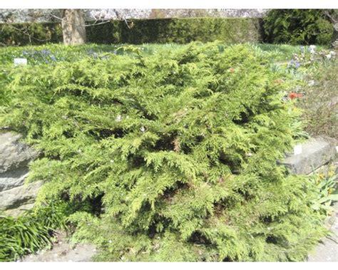 Langsam Wachsende Thuja 3388 by Langsam Wachsende Pflanzen Maik Rohdich Garten Und