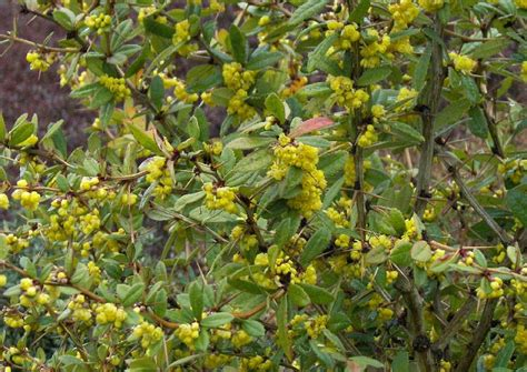 Duftende Garten Pflanzen by Berberis Hookeri Himalayaberberitze Immergr 252 N Duftende Bl 252 Te