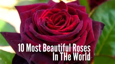 best beautiful in the world most beautiful roses pictures in the world wallpaper images